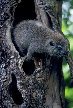Tree hyrax at day nest hole (Drohyrax arboreus) Epulu reserve Congo Zaire  -  Jabruson/ npl