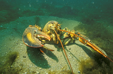 American lobster (Homarus americanus) Bay of Fundy Canada  -  Peter Scoones/ npl