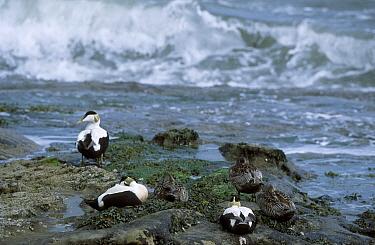 Eider ducks males females (Somateria mollissima) Northumberland UK  -  David Kjaer/ npl