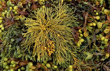 Channelled wrack seaweed (Pelvetia canaliculata) Scotland, UK  -  Duncan McEwan/ npl