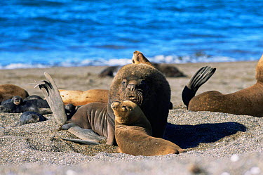 South American, Patagonian sealion bull with females (Otaria flavescens) in colony on beach, Valdez peninsula, Argentina  -  Gabriel Rojo/ npl