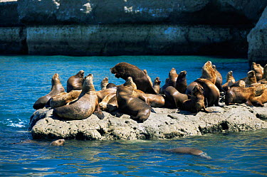 South American, Patagonian sealion colony (Otaria flavescens) Valdez peninsula, Argentina  -  Gabriel Rojo/ npl