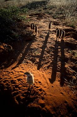 Meerkat family at burrow at dawn (Suricata suricatta) Tswalu Kalahari Reserve S Africa  -  Simon King/ npl