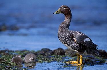 Flightless steamer duck ducklings (Tachyeres pteneres) Falkland Is  -  Ben Osborne/ npl