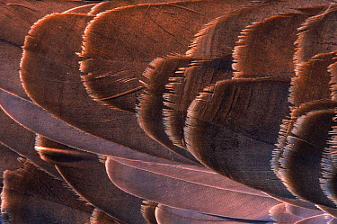 Close-up of feathers of Canada goose, USA  -  Larry Michael/ npl