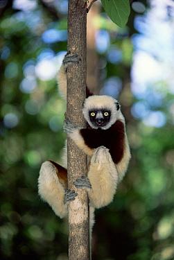 Coquerel's sifaka (Propithecus verreauxi coquereli), Western Dry Forest, Madagascar  -  Pete Oxford/ npl