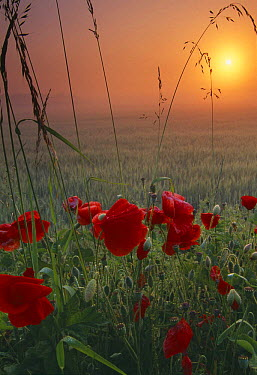 Poppies growing in a field of barley at dawn, Flanders, France  -  David Noton/ npl