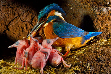 Common kingfisher (Alcedo atthis) adult with fish for chicks in nest, England  -  Charlie Hamilton James/ npl