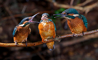 Common kingfisher (Alcedo atthis) youngsters begging food from adult (centre), England  -  Charlie Hamilton James/ npl
