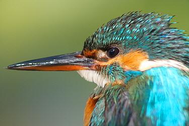 Common kingfisher (Alcedo atthis) female head profile portrait, England  -  Charlie Hamilton James/ npl