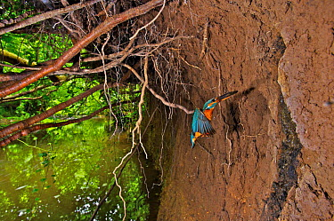 Common kingfisher (Alcedo atthis) flying with fish to nest in river bank, England  -  Charlie Hamilton James/ npl