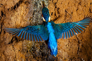 Common kingfisher (Alcedo atthis) flying with fish to nest, England  -  Charlie Hamilton James/ npl