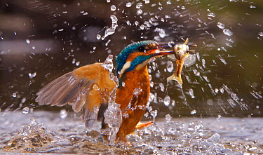 *Common kingfisher (Alcedo atthis) flying up from water with fish, England  -  Charlie Hamilton James/ npl