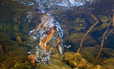 Common kingfisher (Alcedo atthis) taking fish underwater, England  -  Charlie Hamilton James/ npl