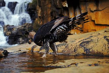 Crowned eagle (Stephanoaetus coronatus) drinks Zimbabwe Nyanga Inyangombe Falls  -  John Downer/ npl