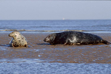 Grey Seal on the beach with pup Humberside, England  -  Mike Wilkes/ npl
