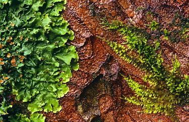 Lichen (Lobaria laetivirens) and Moss on bark Scotland, UK Inverness-shire  -  Duncan McEwan/ npl