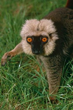 Sanford's brown lemur (Eulemur fulvus sanfordi) male, captive, from Mount d'Ambre, Madagascar  -  Rod Williams/ npl