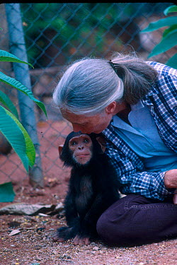 Jane Goodall with baby Chimpanzee, Gombe, Tanzania  -  Karl Ammann/ npl