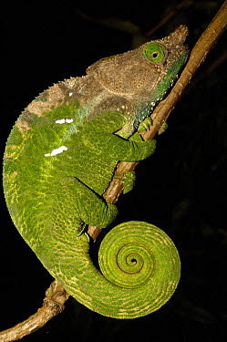 O'shaughnessy's chameleon (Calumma oshaughnessyi) night time sleeping position, Andohahela National Park, MADAGASCAR, endemic  -  Pete Oxford/ npl