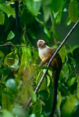 Satare Maues marmoset (Callithrix mauesi satare) Amazon, Brazil, South America  -  Nick Gordon/ npl