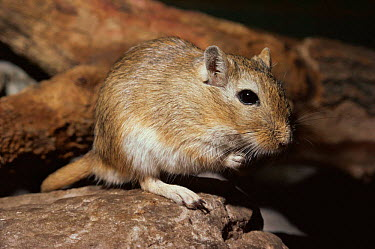 Mongolian gerbil, jird (Meriones unguiculatus) captive, from Asia, this is the species most commonly kept as pets  -  Rod Williams/ npl