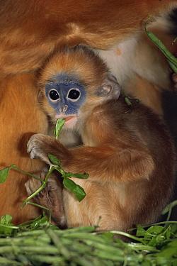 Mitred sureli monkey (Presbytis melalophos melalophos) young feeding, captive, from SW Sumatra  -  Rod Williams/ npl