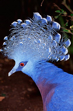 Victoria crowned pigeon (Goura victoria) captive, from Indonesia and Papua New Guinea  -  Rod Williams/ npl