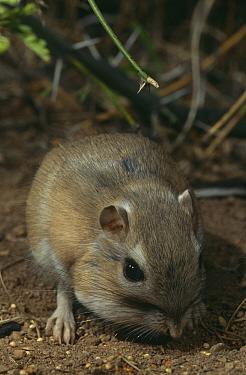 Bannertail kangeroo rat feeding (Dipodomys spectabilis) Arizona, USA  -  Mary Mcdonald/ npl