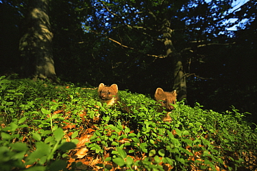 Pine marten (Martes martes) two 4-month juveniles exploring woodland, Germany  -  Klaus Echle/ npl