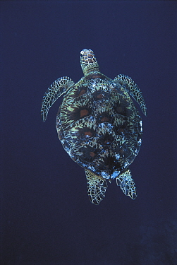 Green turtle swimming (Chelonia mydas) Sulu-Sulawesi seas, Indo Pacific  -  Jurgen Freund/ npl