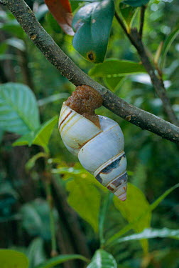 Florida tree snail in tree (Liguus fasciatus) Everglades NP, Florida, USA  -  George Mccarthy/ npl