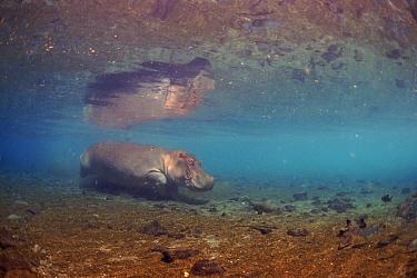 Hippopotamus underwater Mzima Springs, Kenya  -  Peter Scoones/ npl