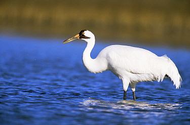 Whooping crane {Grus americanus} Texas, USA  -  Shattil & Rozinski/ npl