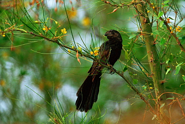 Groove billed ani {Crotophaga sulcirostris} Rio Grande Valley, Texas, USA  -  Shattil & Rozinski/ npl