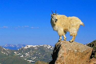 Mountain goat {Oreamnos americanus} standing on rocky summit, Mt Evans, Colorado, USA  -  Shattil & Rozinski/ npl