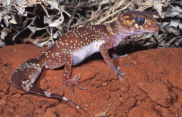 Thick-tailed gecko, female (Underwoodisaurus milii) New South Wales, Australia  -  Robert Valentic/ npl