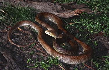 Coastal taipan snake, male (Oxyuranus scutellatus) Queensland, Australia  -  Robert Valentic/ npl
