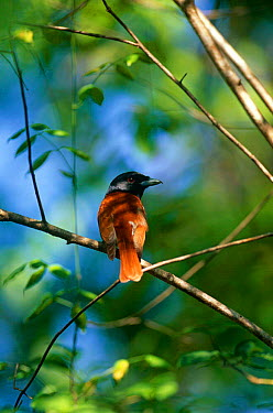 Rufous vanga (Schetba rufa) rear view of male perching on branch, Western Dry Forest, Madagascar  -  Pete Oxford/ npl