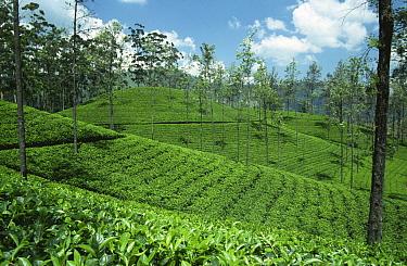 Tea plantation near Kandy, Sri Lanka  -  Ingo Arndt/ npl