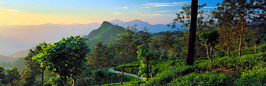 Panoramic view of tea plantation in hills of Matale region, near Kandy, Sri Lanka  -  David Noton/ npl
