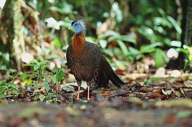 Argus pheasant male on 'dancing ground' (Argusianus argus) Danum valley, Sabah, Borneo  -  Nick Garbutt/ npl