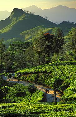 The Hill Country, nr Kandy, Sri Lanka  -  David Noton/ npl