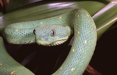 Green bush viper (Atheris chloroechis) female, captive  -  Robert Valentic/ npl