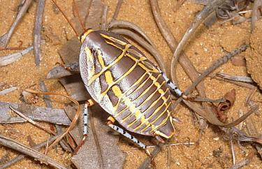 Australian Cockroach, species unknown 25mm long Kalbarri, Western Australia  -  Robert Valentic/ npl