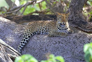 Zawadi' Leopard resting up in tree (Panthera pardus) Masai Mara NR, Kenya, East Africa BIG CAT DIARY  -  Angela Scott/ npl