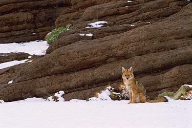 Culpeo, Andean red fox (Pseudolopex culpaeus) Altiplano, Bolivia  -  Pete Oxford/ npl