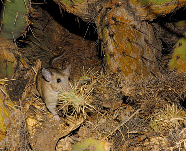 White Throated Woodrat (Neotoma albigula) building nest in Bevertail cactus, bringing in teddybear cactus in his mouth Arizona, USA  -  Barry Mansell/ npl
