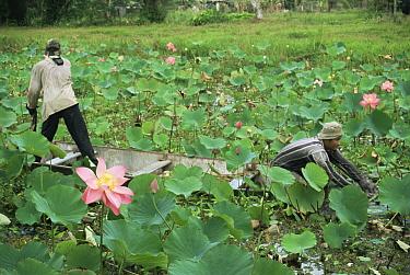 Man harvesting Red lily lotus flowers (Nelumbo nucifera) Lotus Nursery, North Suriname 2003  -  Willem Kolvoort/ npl