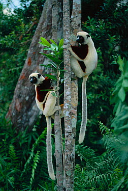 Coquerel's sifakas climbing tree (Propithecus verreauxi coquereli) Madagascar  -  Hermann Brehm/ npl